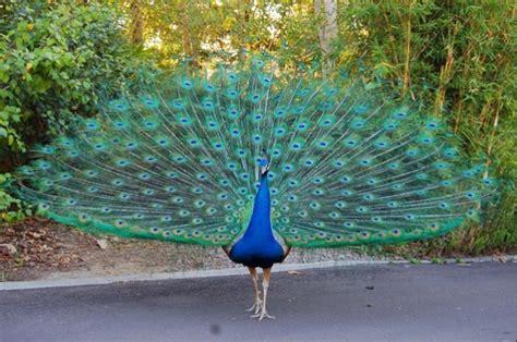 merak hijau burung merak klasifikasi dan jenis jenisnya flora dan fauna