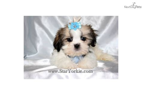 teacup shih tzu breeders in shih tzu puppy with coat breeds picture