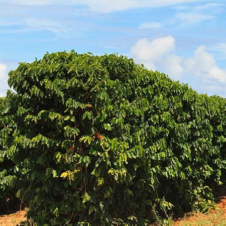 Coffee Tree coffee plants for sale coffee arabica plants for sale