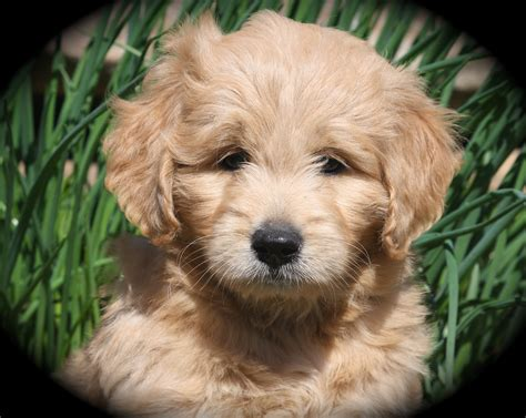 mini goldendoodles wisconsin breeders wisconsin miniature goldendoodle breeder