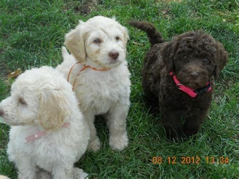 goldendoodle puppies for sale in utah labradoodle breeders in utah ut