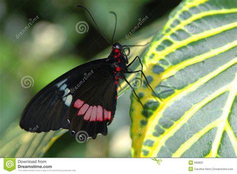 imagenes de mariposas negras y blancas mariposa roja y blanca negra en la hoja foto de archivo