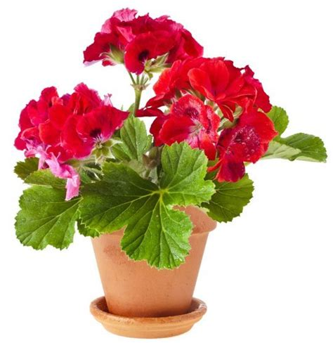 easy flowers to grow indoors add some color 5 cheery easy to grow indoor flowering