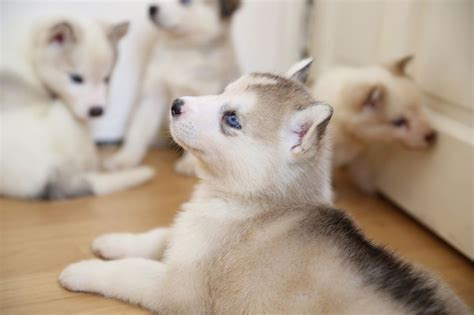 puppies for sale ontario husky malamute puppies for sale in ontario