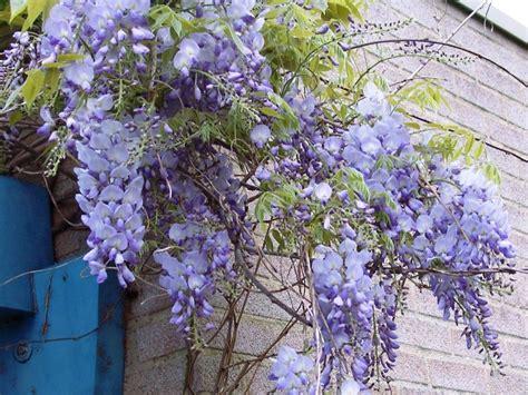 blauwe regen weinig bloemen chinese blauwe regen prolific als klimplant