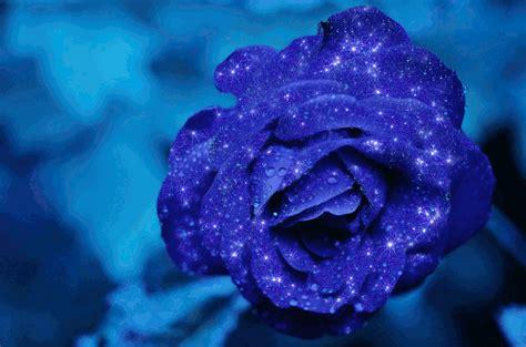 imagenes de rosas azules con movimiento hermosas rosas azules con lindos movimientos