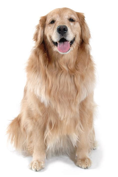 golden retriever houston in missouri city tx fondren 5 pet resort