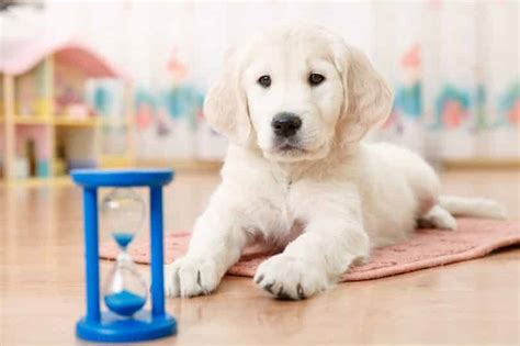 how to your obedience learn how to your puppy to obey obedience autos post