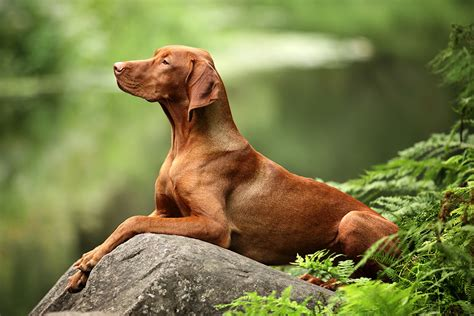 best hiking dogs 10 best hiking breeds hiconsumption