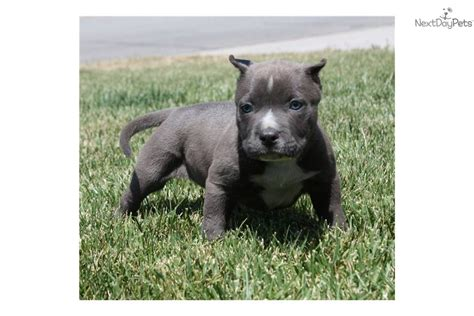 pitbull puppies for sale in new orleans meet bronx a american pit bull terrier puppy for sale for 1 500 bronx