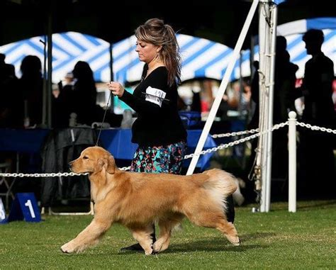 golden retriever national specialty 2016 dalane golden retrievers