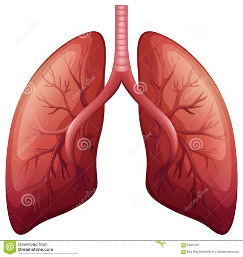 lung cancer diagram lung cancer diagram in detail stock vector illustration