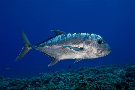 Metal Fish Wall Decor White Ulua Photograph By Dave Fleetham