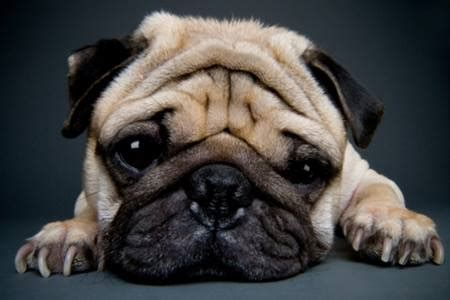 what were pugs bred for pug breed information on pugs