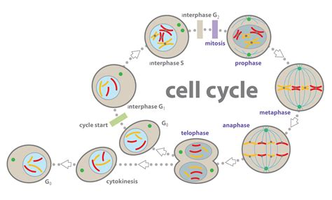 cell cycle diagram to label scienceset