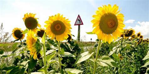 Pupuk Untuk Bunga Matahari berita burung seorang pria berhasil menanam bunga