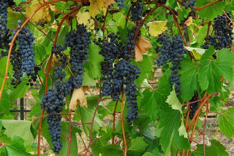 Grape Garden by Liquid Assets Edible Buffalo S