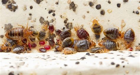 what are bed bugs attracted to even after bedbugs are eradicated their waste lingers