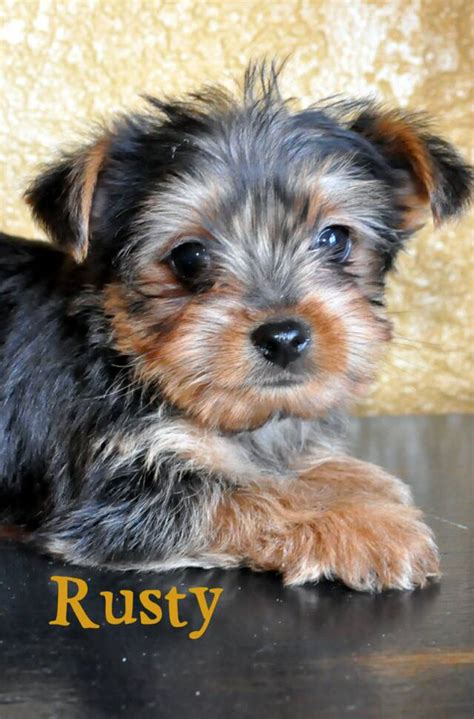 dogs for sale in missouri mo terrier puppy for sale york shire puppies pups breeders yorkies yorkie