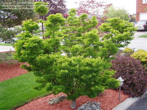 maple tree growing conditions plantfiles pictures japanese maple shishigashira acer palmatum by creeker