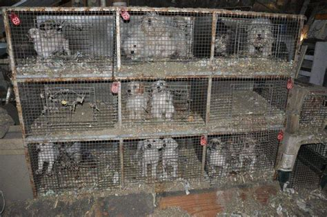 california puppy mill california sets an exle by banning sale of pets from puppy mills paw prints