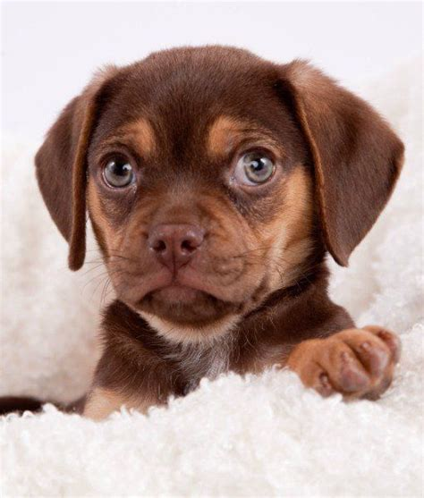 best breed of for me 1000 ideas about teacup breeds on micro teacup dogs teacup dogs and