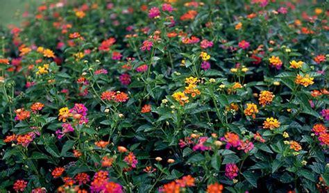 Tanaman Bunga Lantana Merah 24 jenis tanaman hias tahan panas matahari tanaman hias