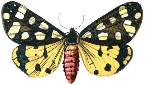 The Moth And The L Summary by File Arctia Villica Moth 001 Png The Work Of God S Children