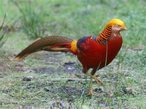 Bibit Ayam Ras Siap Telur jual ayam golden pheasent dari anak atau bibit sai
