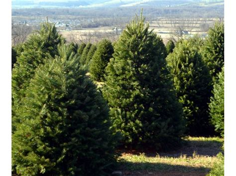cut your own christmas tree in south brunswick south