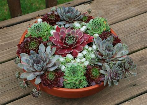 chick charms  succulents easy  add  grower
