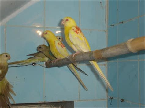 birds for sale san diego male red rump parakeet beautiful rump parakeets for sale