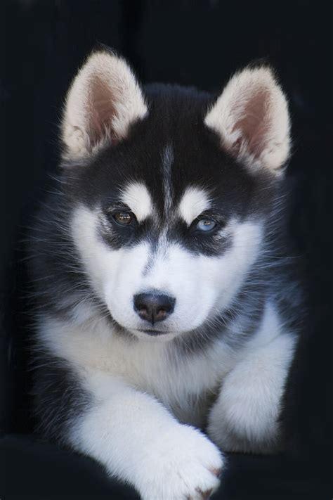 sled names siberian huskies siberian husky names sled dogs breeds picture