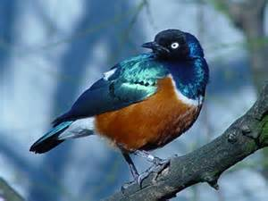 blue and brown bird beautiful birds picture