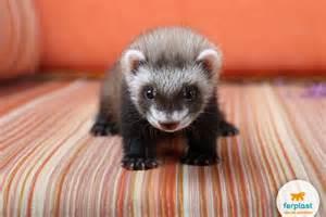 cute ferrets cute ferret names dog breeds picture