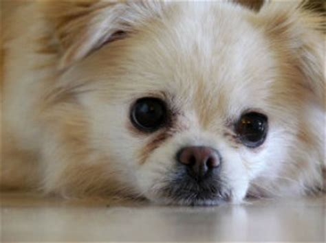 shih tzu chi mix soft and fluffy helping you put a smile on your everyday