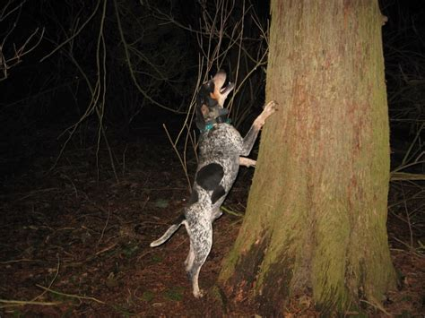 how to a coon to tree a raccoon 17 best images about coon on coon and worlds largest