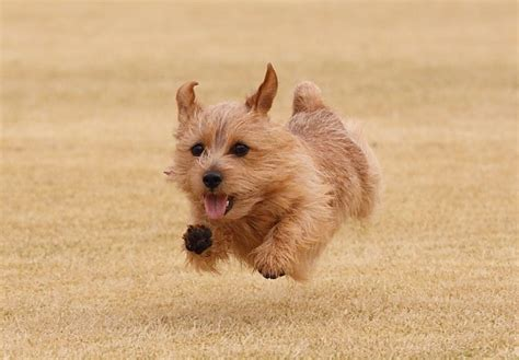 puppy norfolk ne 1000 ideas about norfolk terrier on norwich terrier terriers and terrier