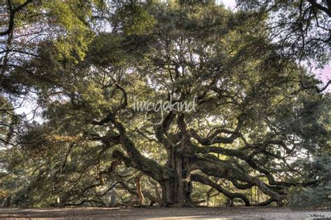 Wall Decor Printed Poster Poster Kayu Oak Tree oak tree by dustin k