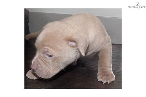 how many puppies do pitbulls in the litter american pit bull terrier puppy for sale near bellingham washington d622ca46 3131