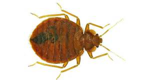 what color is a bed bug bed bugs favorite colors science news for students