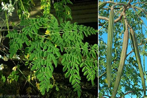 Teh Moringa moringa oleifera junglekey fr image 50