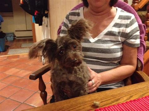 yorkie swollen reese chocolate yorkie poo adopted oct 2015 beaver creek farm sanctuary