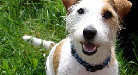 cani di piccola taglia da appartamento in regalo la sindrome di piccola taglia irispets