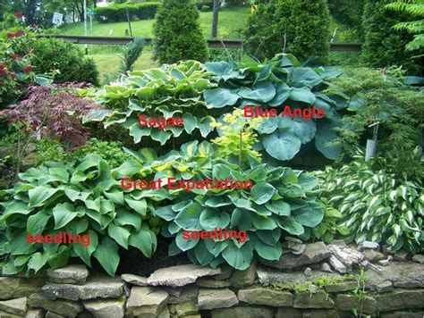 Hostas Plant Care And Collection Of Varieties Garden Org How To Arrange A Vegetable Garden