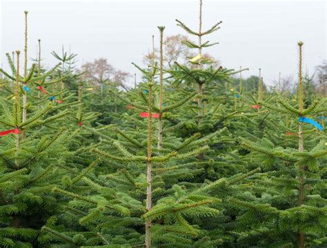 wholesale real non needle drop nordman fir christmas trees