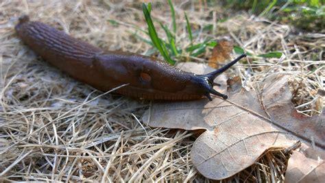 Garden Slug by Slugs Identifying Controlling And Getting Rid Of Garden Pests The Farmer S Almanac