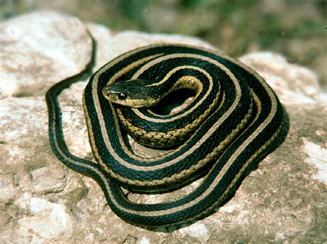 Garter Snake For Pet Chats Not A Knife This Is A Knife Page 4 Stoners