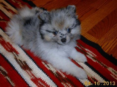 pomeranian puppies oklahoma pomeranian puppies for sale in oklahoma puppies animals