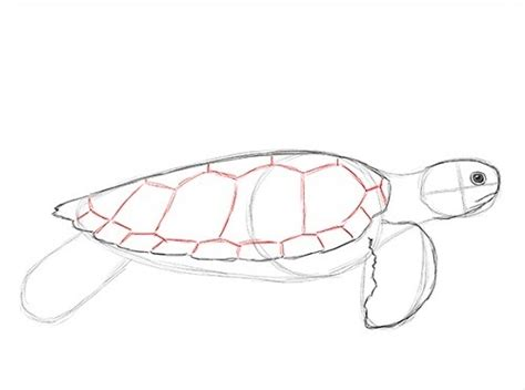 How To Draw A Realistic Sea Turtle Step By Step